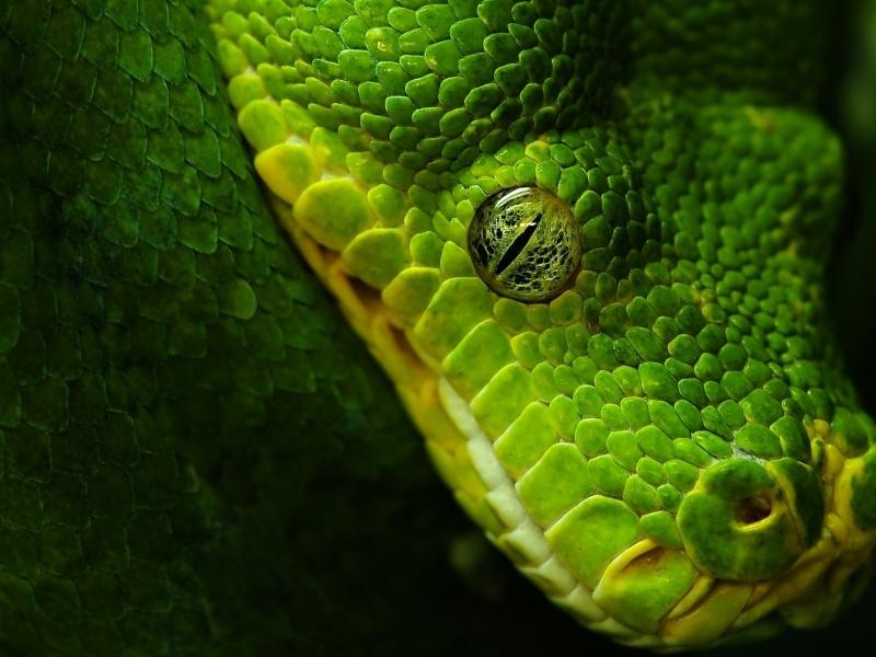 Cabeza de serpiente verde - 800x600