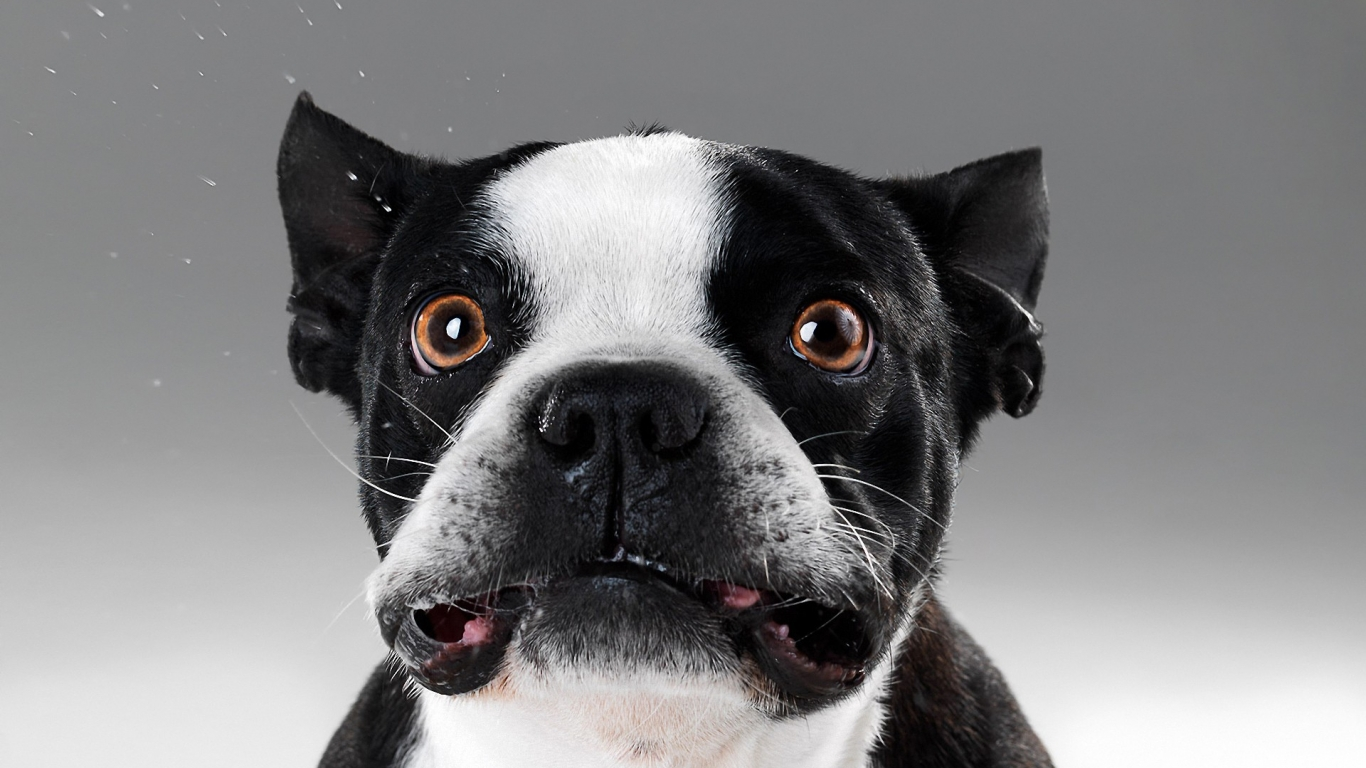 Caras de perros - 1366x768