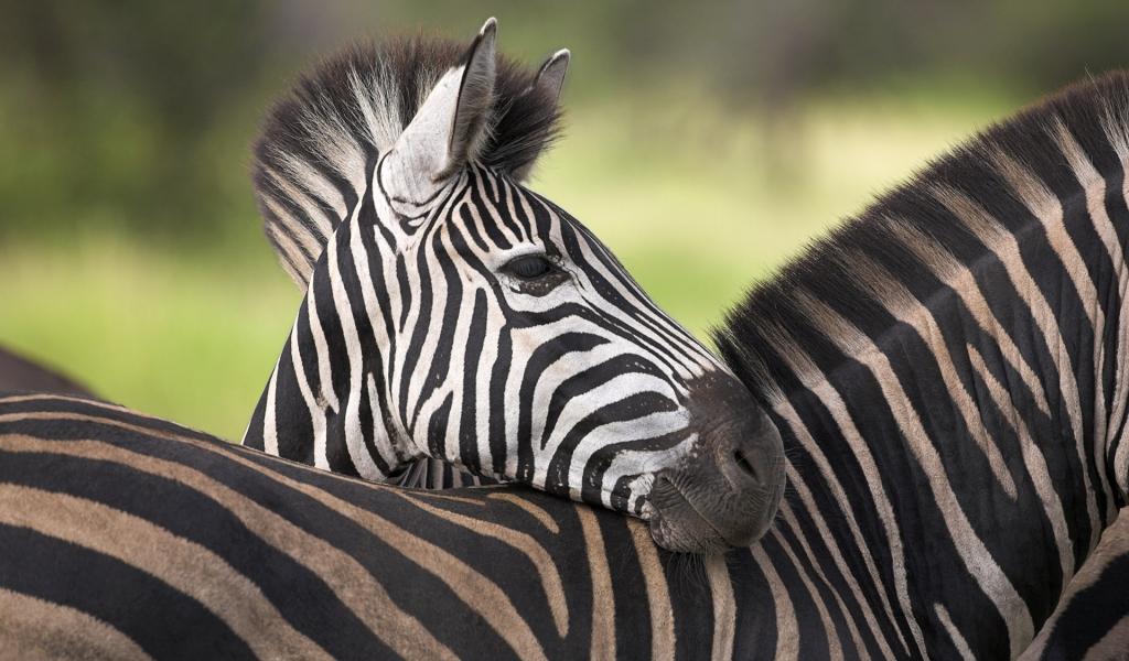 Cebras africanas - 1024x600