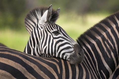Cebras africanas - 480x320