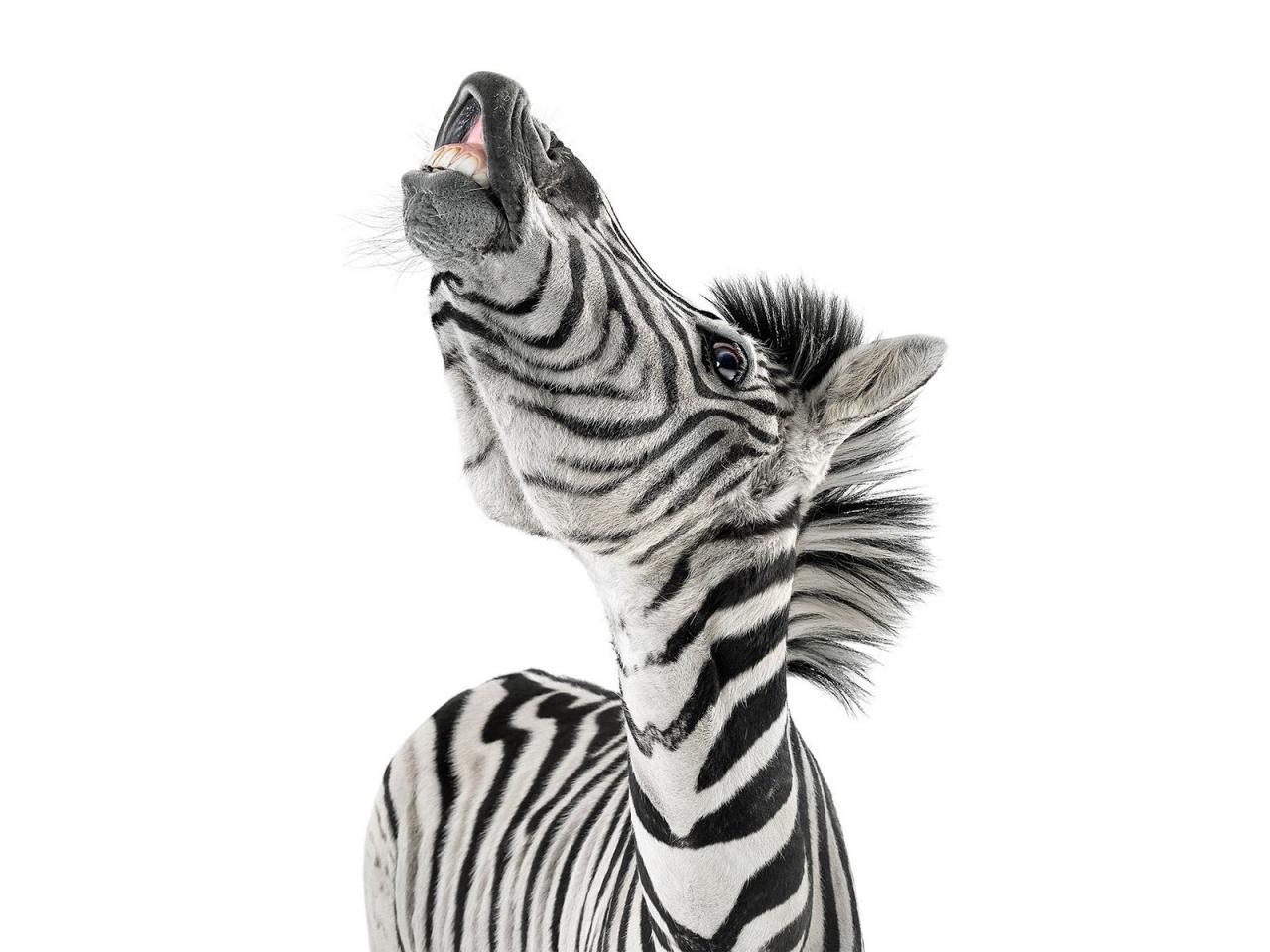 Cebras graciosas - 1280x960