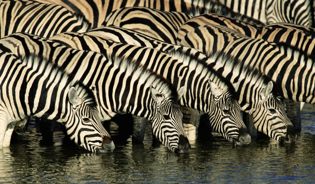 Cebras tomando agua - 1024x600
