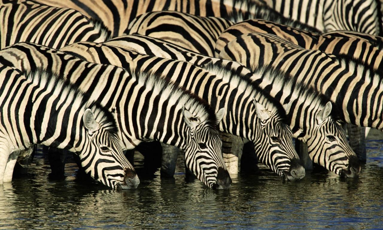 Cebras tomando agua - 1280x768
