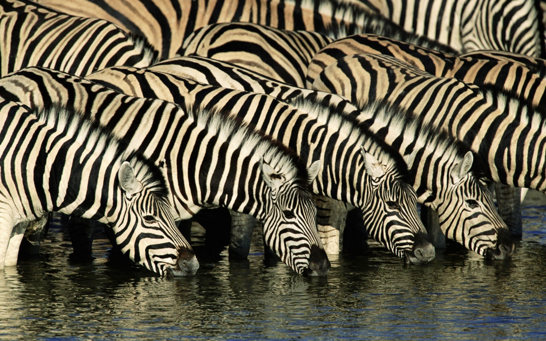 Cebras tomando agua - 1440x900