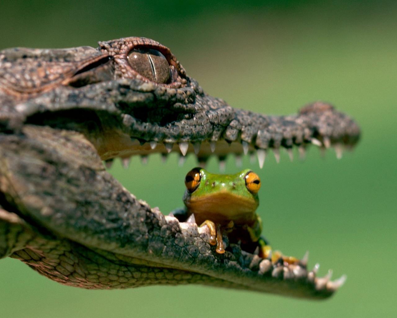 ワニの口に座るカエル