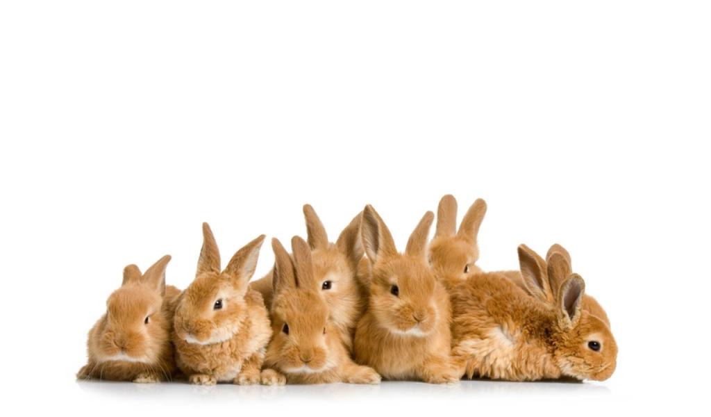 Conejos marrones - 1024x600