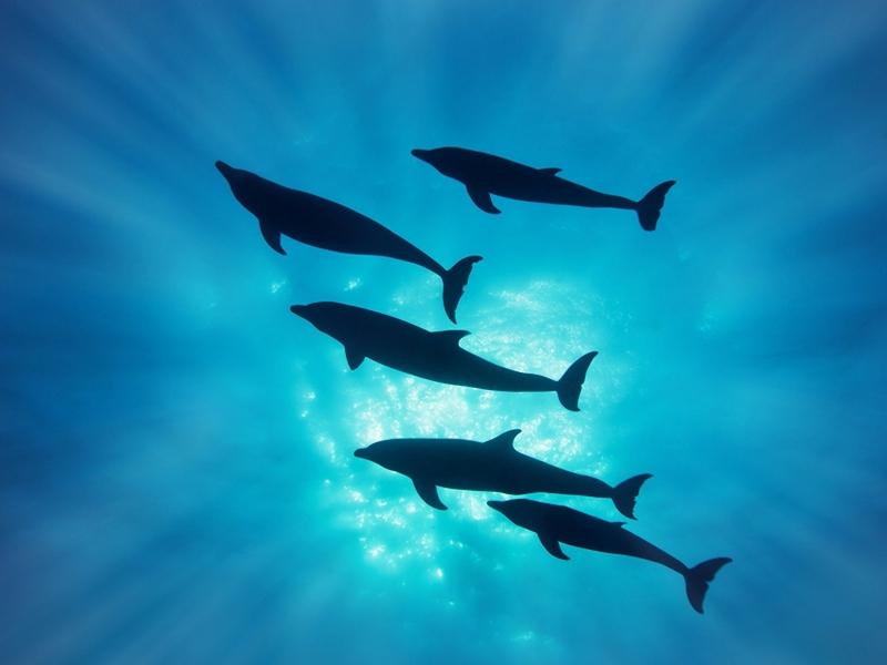 Delfines en el mar - 800x600