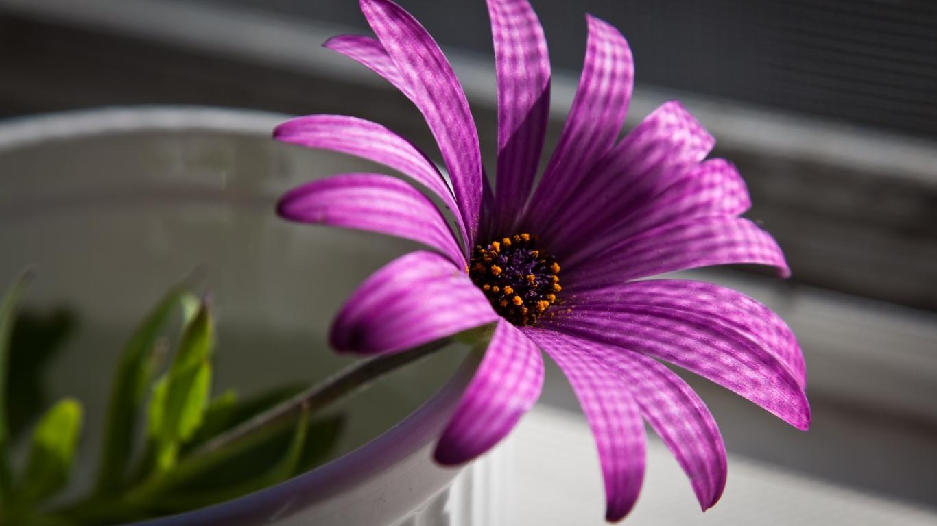 Flor purpura - 1366x768