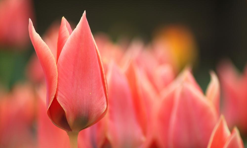 Flor tulipan roja - 1000x600