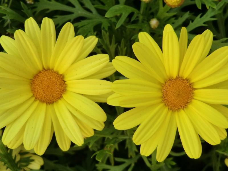 Flores amarillas - 800x600