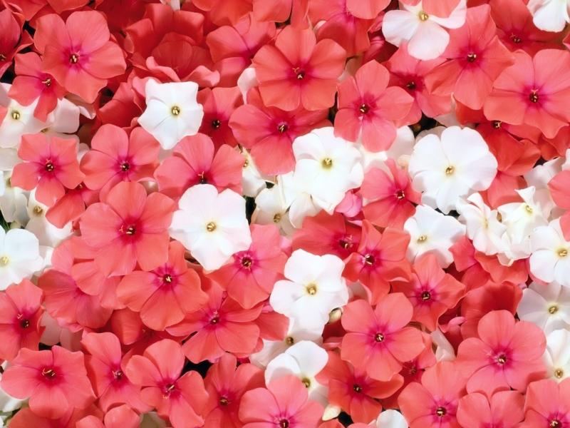 Flores Blancas Png 800 600: Flores Blanca Y Rojas Hd 800x600