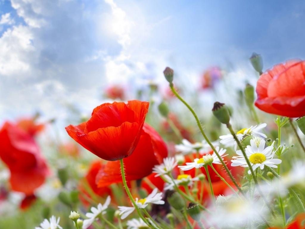 Flores blancas y rojas - 1024x768