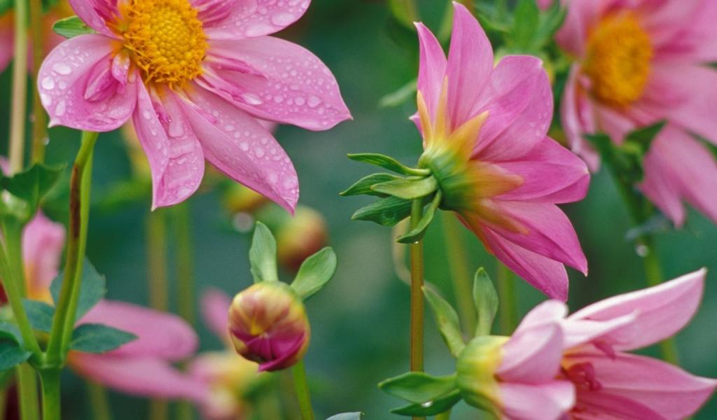 Flores rosadas - 1024x600