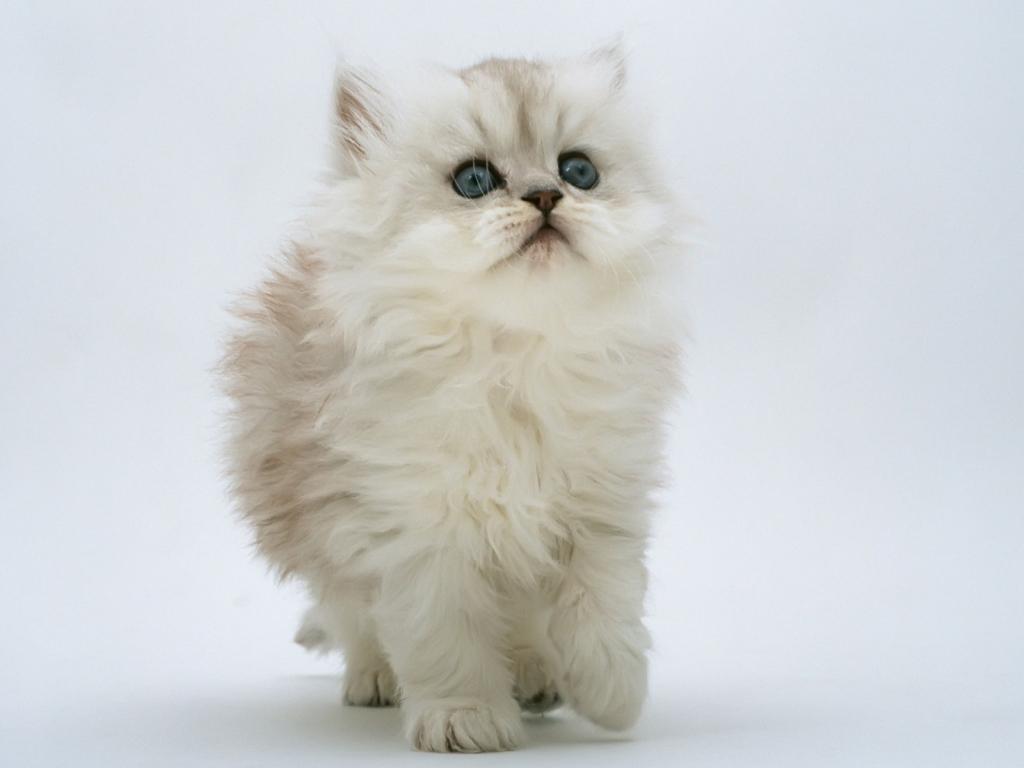 Gato blanco hermoso - 1024x768