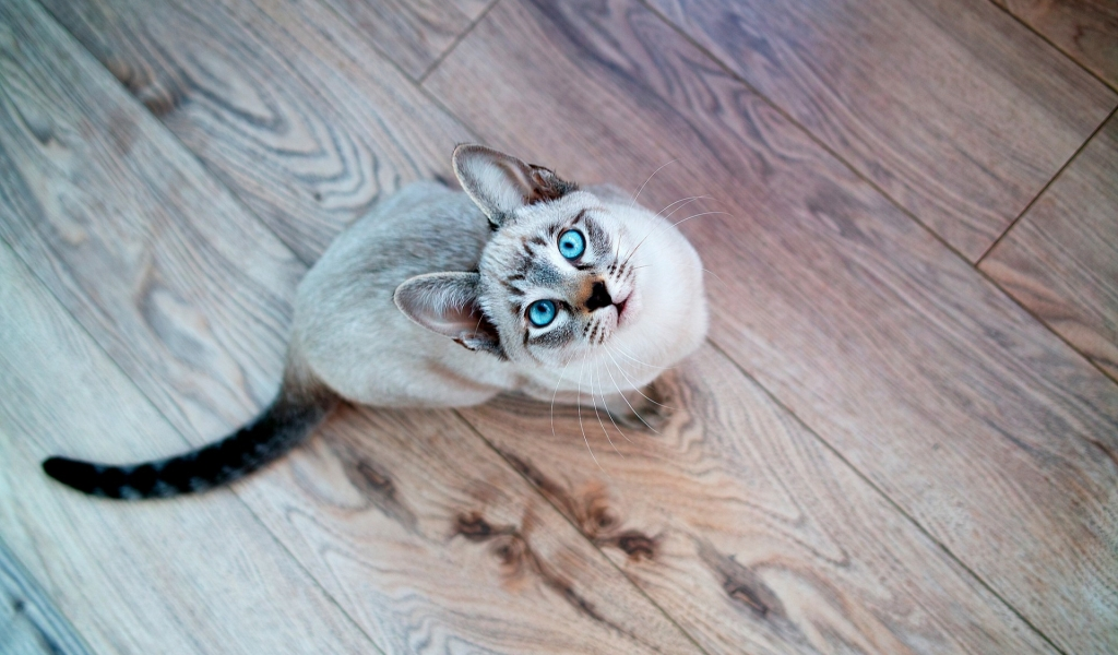 Gato de ojos turquesa - 1024x600