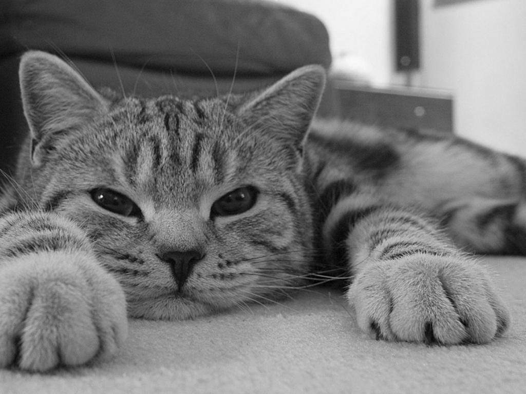 Gato en blanco y negro - 1024x768