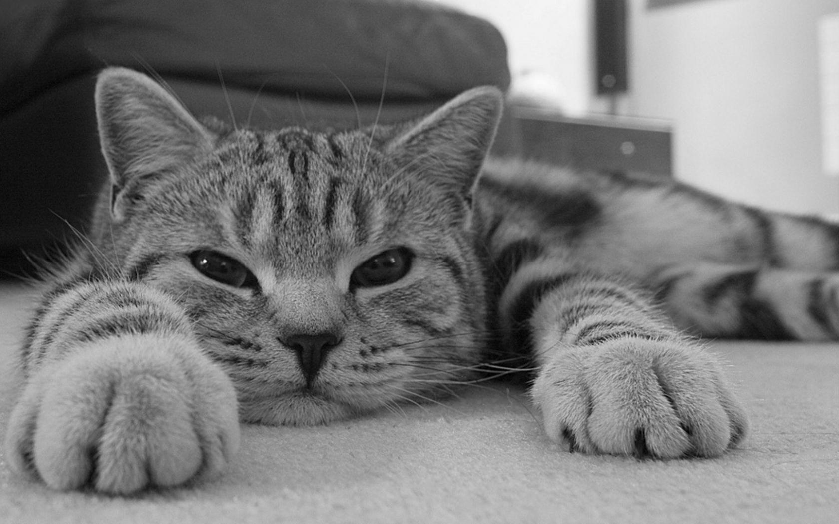 Gato en blanco y negro - 1680x1050