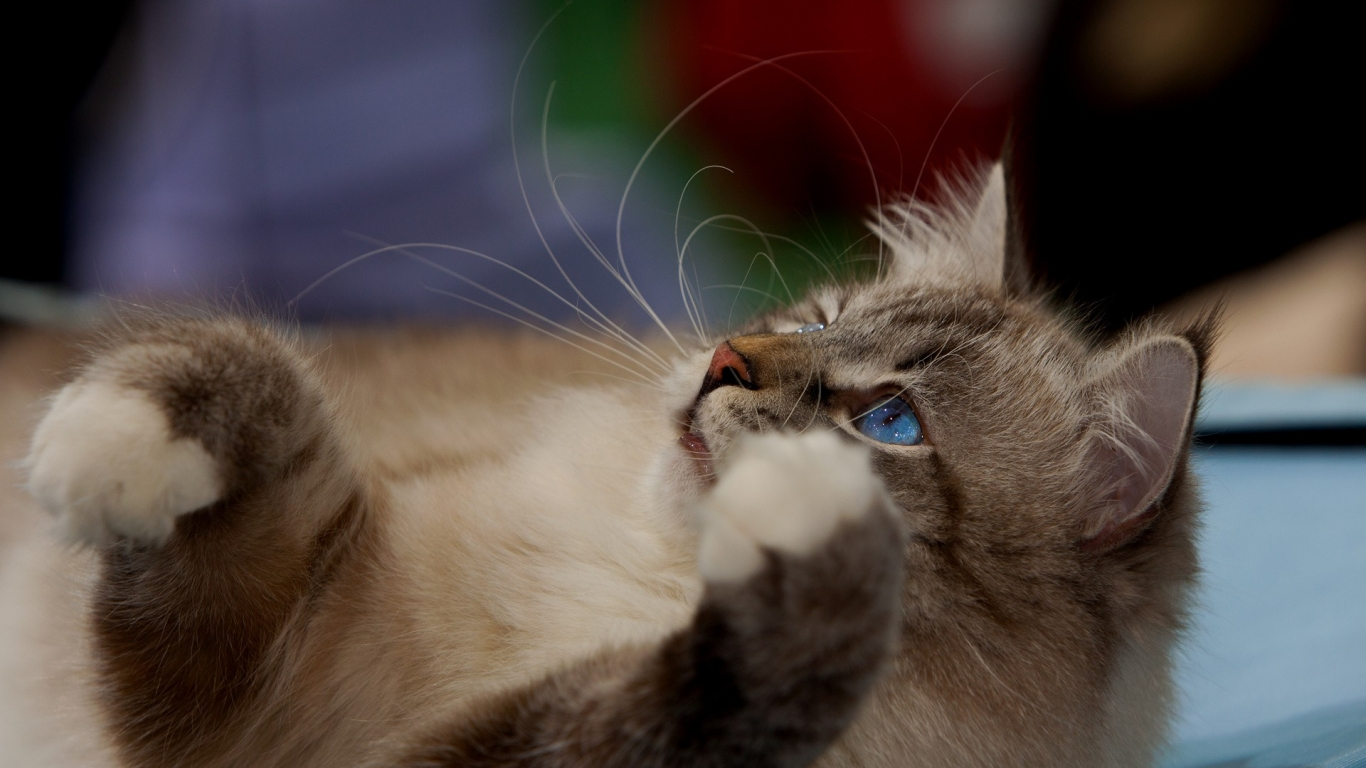 Gato marron ojos azules - 1366x768