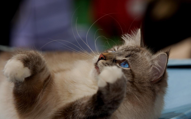 Gato marron ojos azules - 1440x900