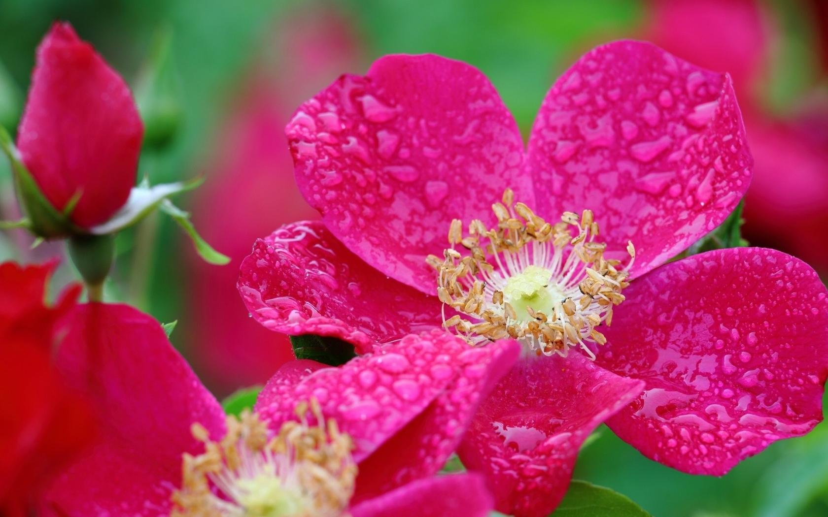 Hojas de flores rosadas - 1680x1050
