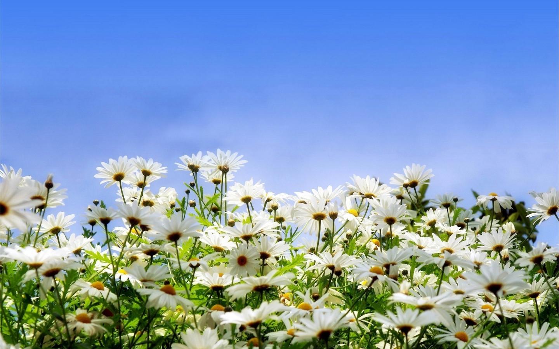 plantas jardins flores:Jardin de flores margaritas hd 1440×900 – imagenes – wallpapers gratis