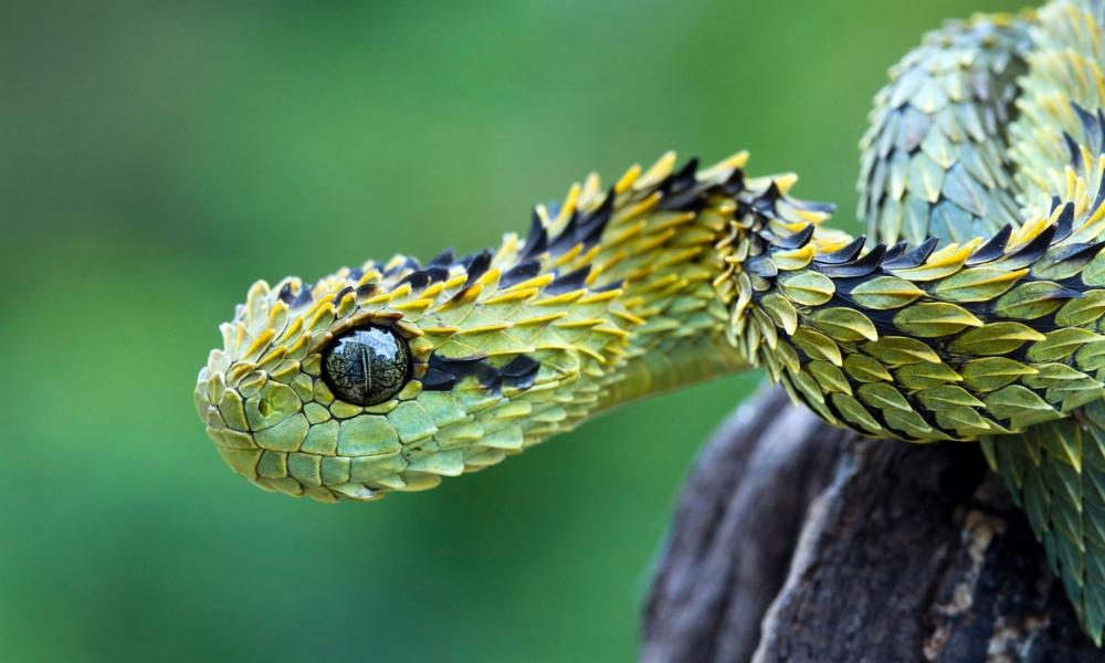 La serpiente viper - 1000x600