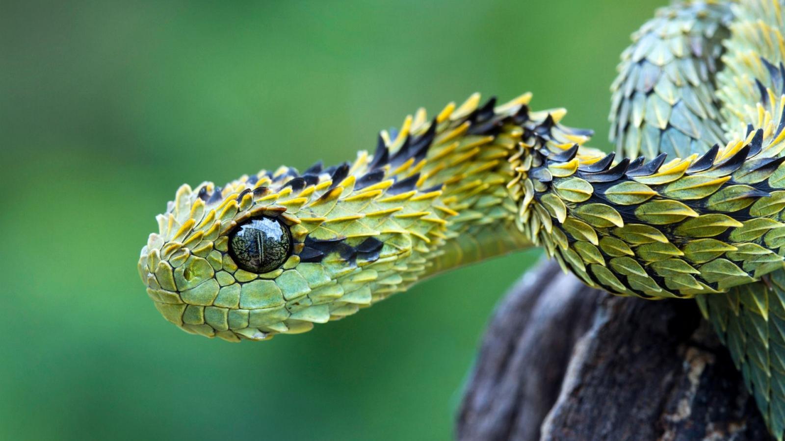 La serpiente viper - 1600x900