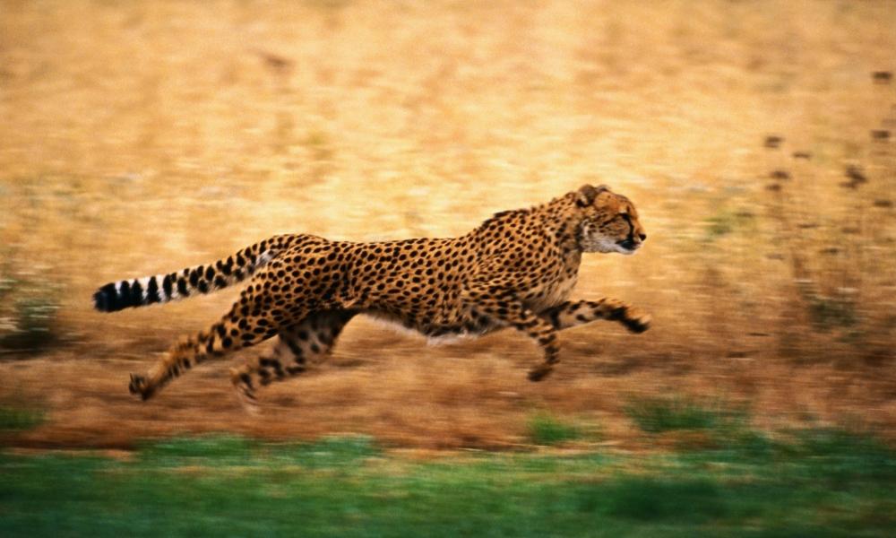 Leopardo corriendo - 1000x600