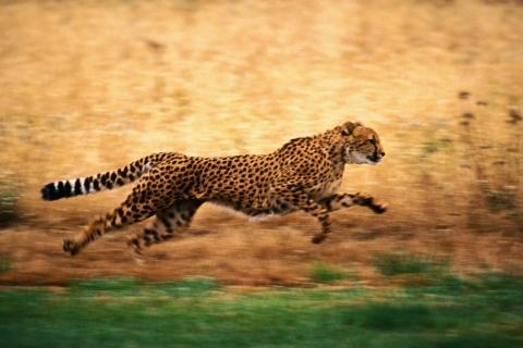 Leopardo corriendo - 480x320