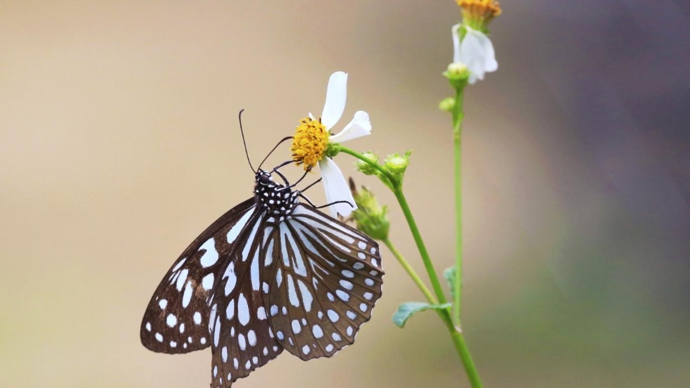 Mariposa y una flor - 1366x768