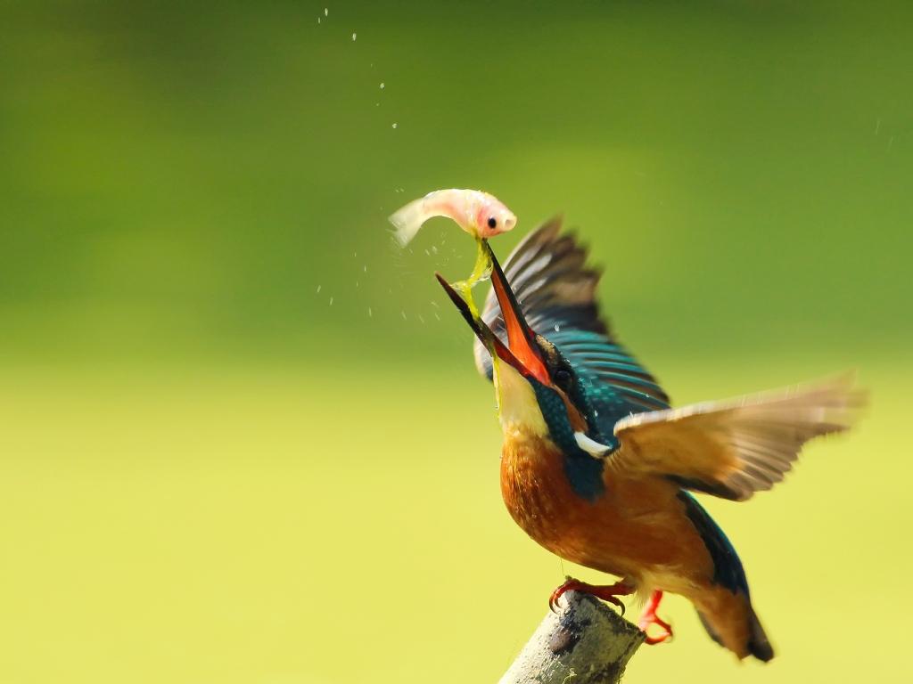 Pájaro pescando - 1024x768