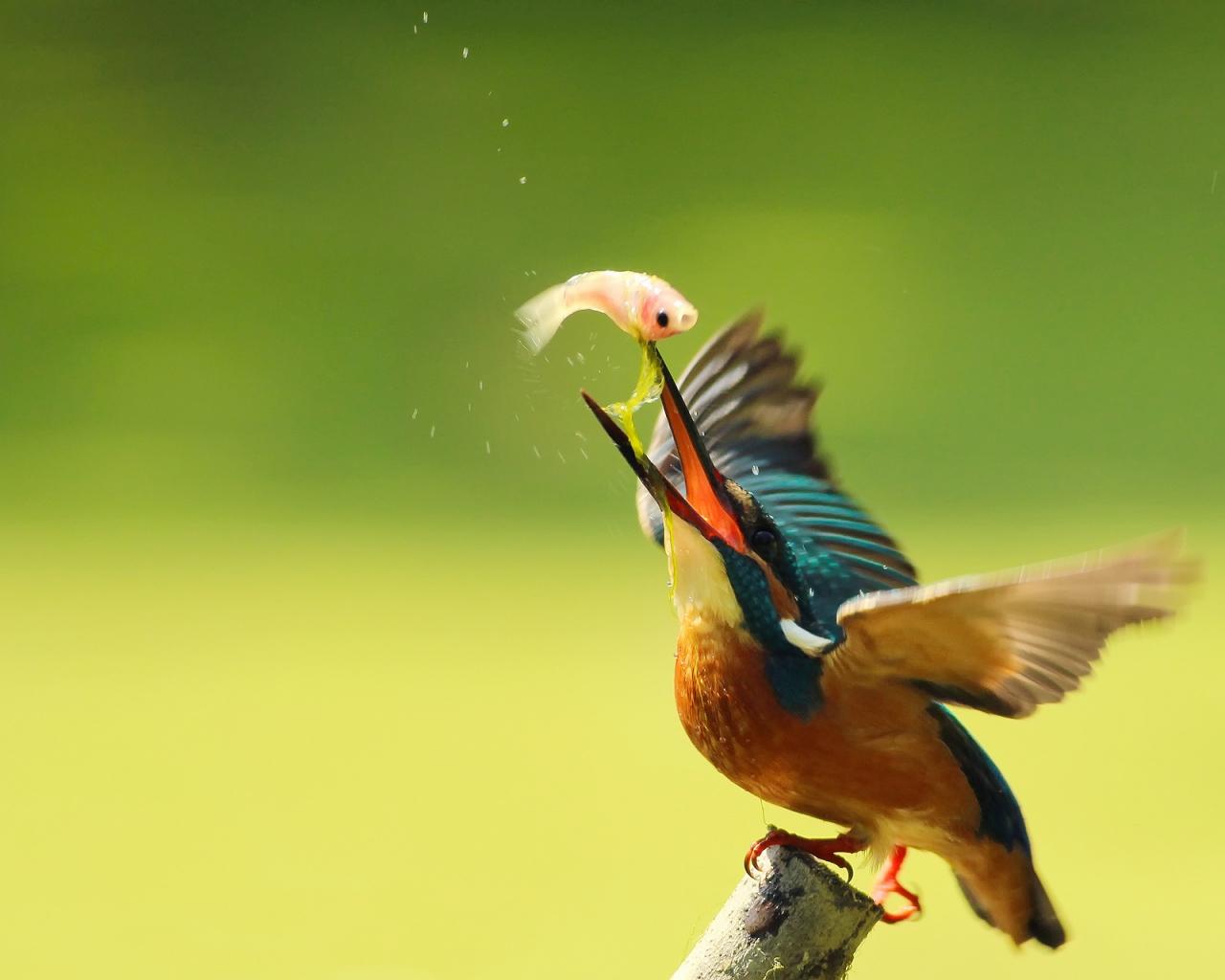 Pájaro pescando - 1280x1024