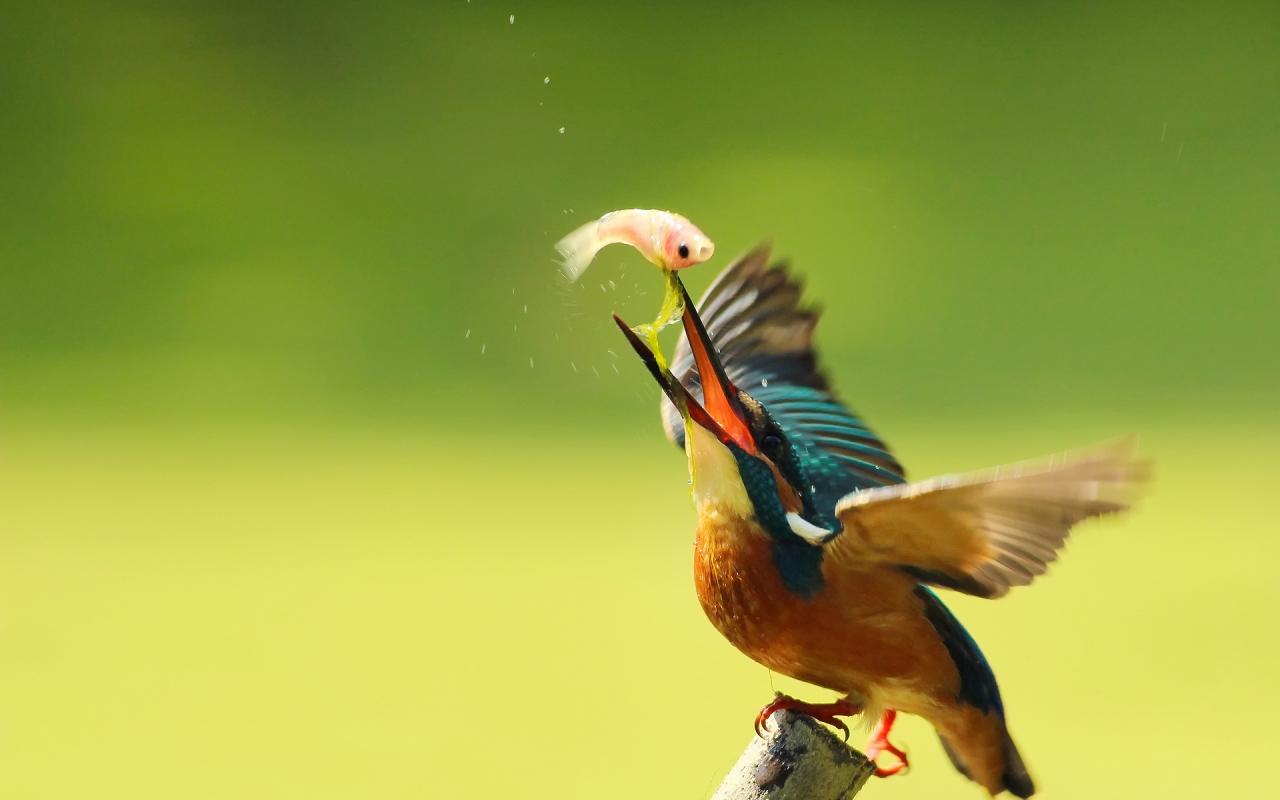 Pájaro pescando - 1280x800