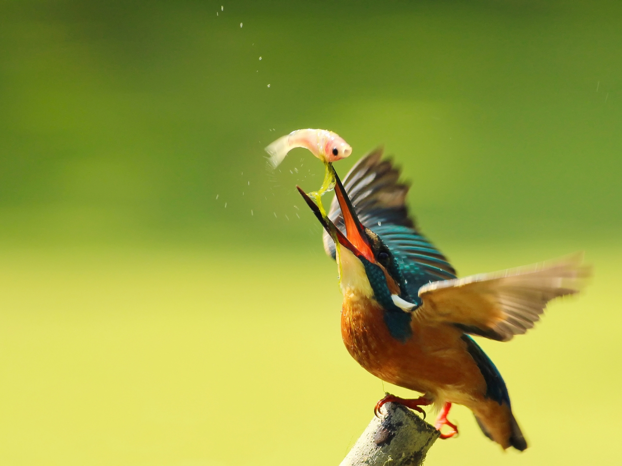 Pájaro pescando - 1280x960