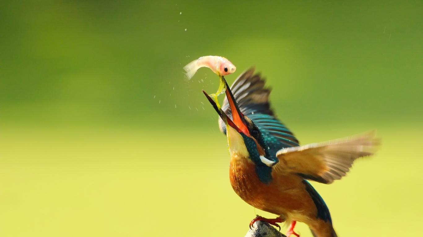 Pájaro pescando - 1366x768