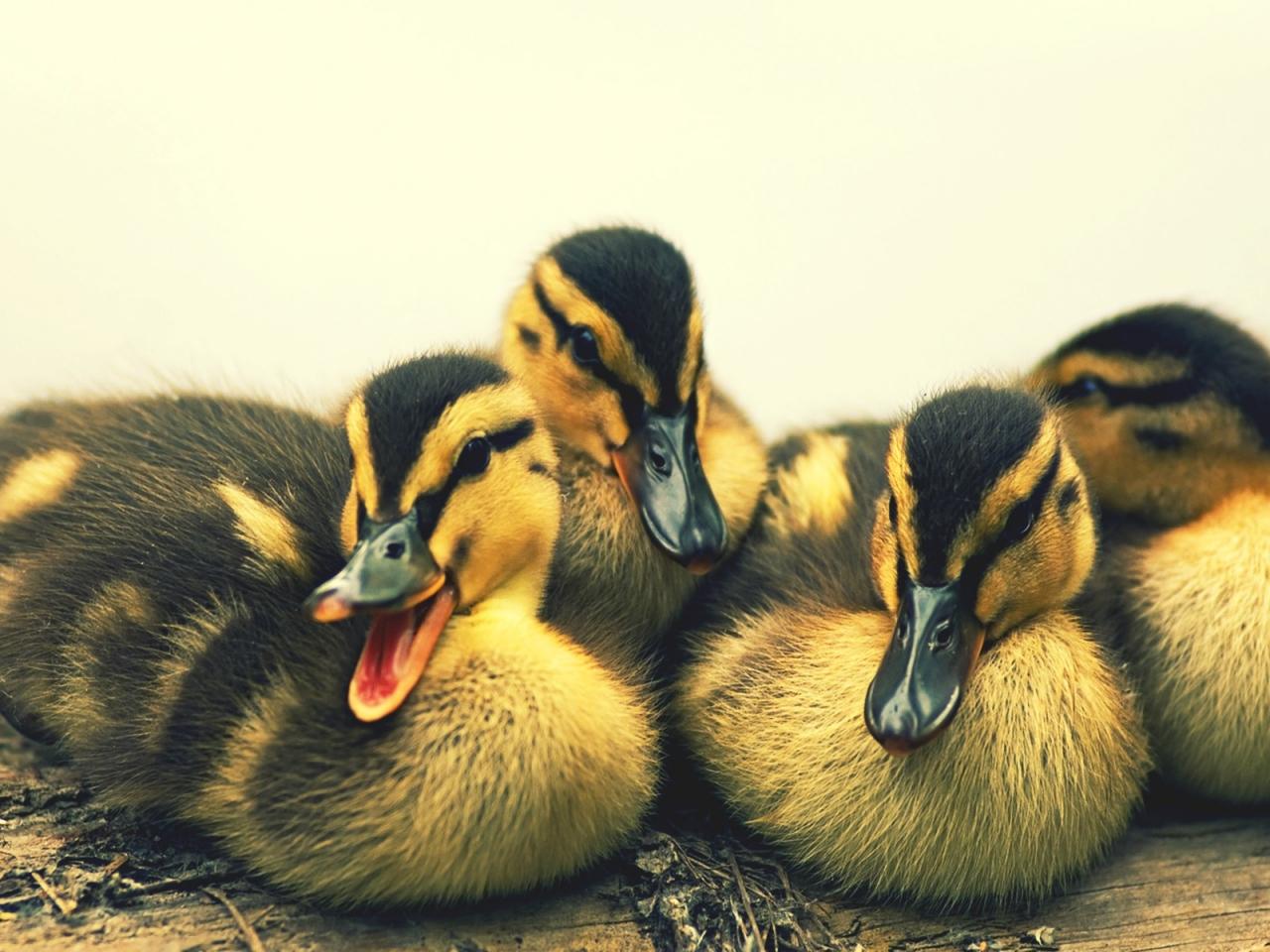Patos bebes - 1280x960