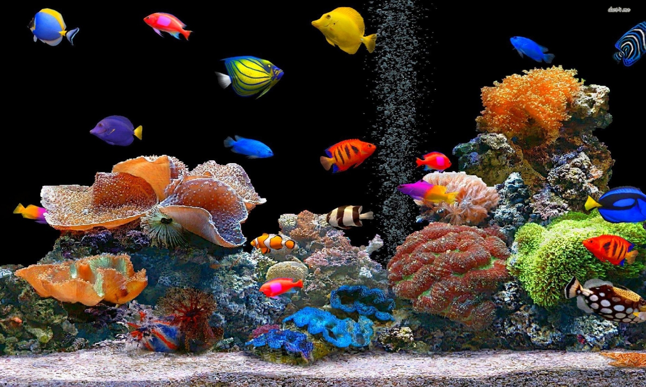 Peces de colores hd 1280x768 imagenes wallpapers for Imagenes para escritorio en movimiento gratis