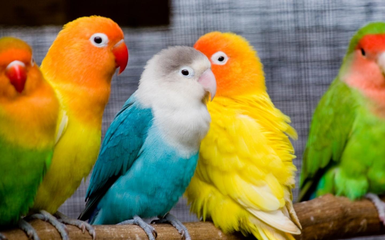 Pericos multicolor - 1440x900