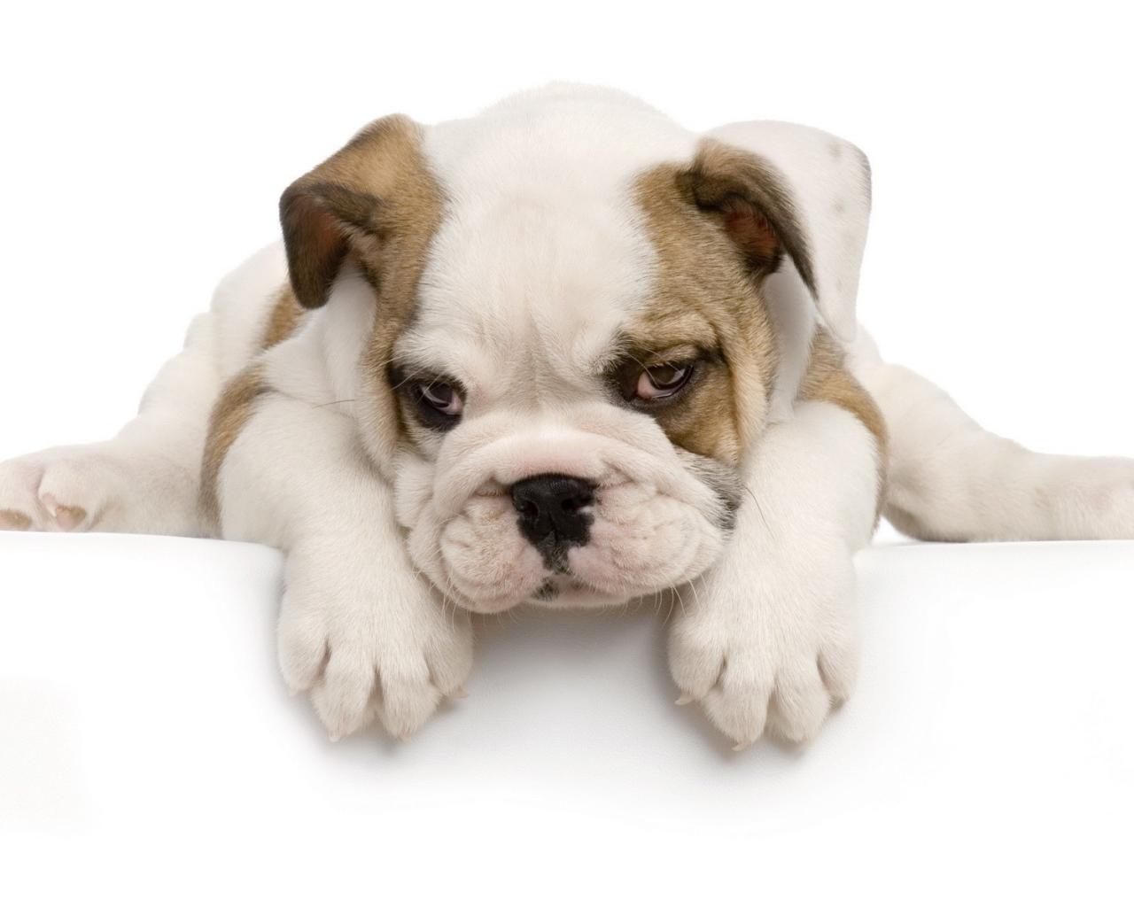 Perro Cachorro - 1280x1024