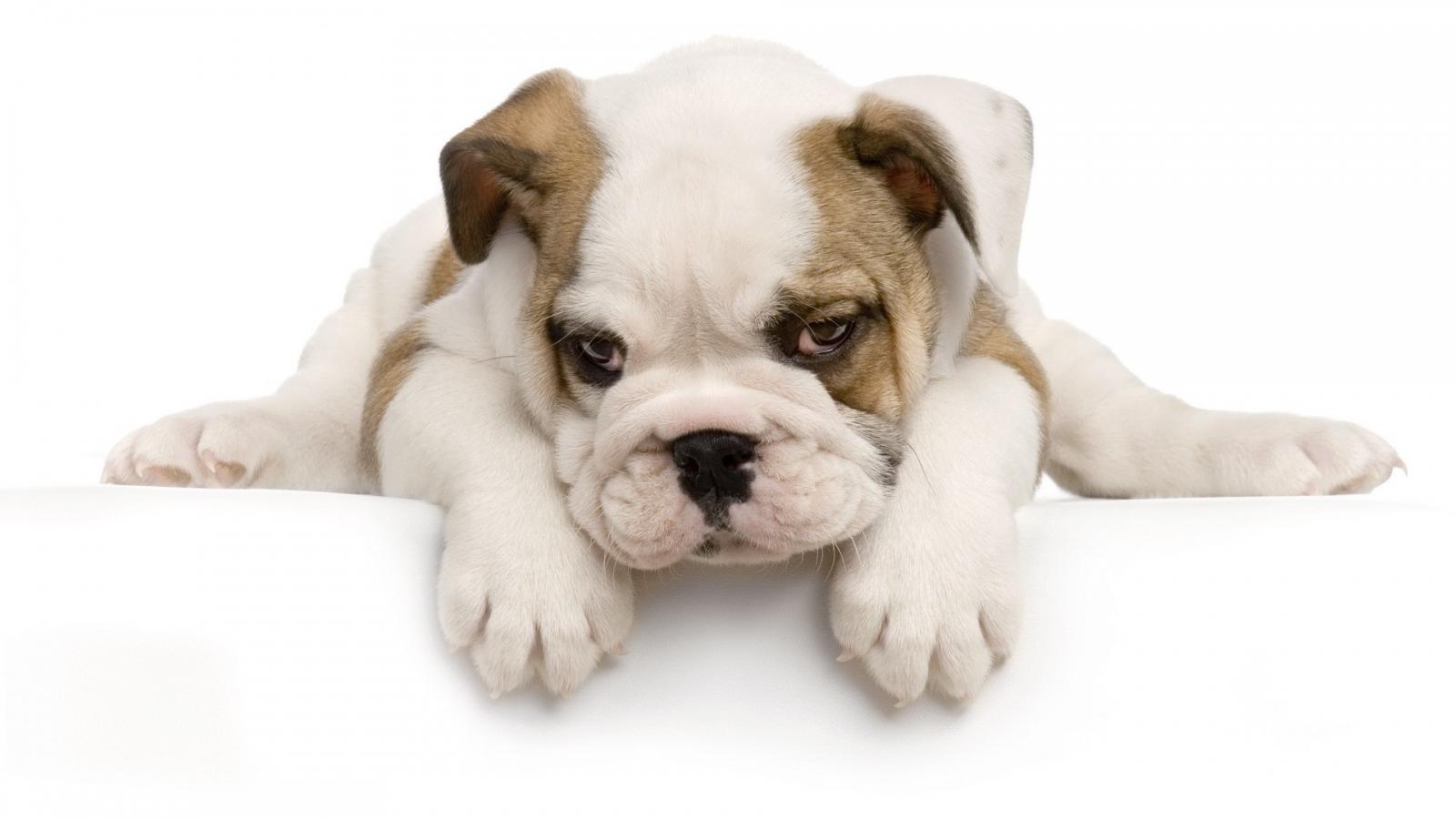 Perro Cachorro - 1600x900