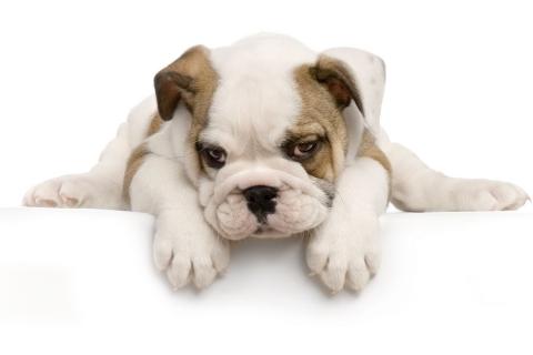 Perro Cachorro - 480x320