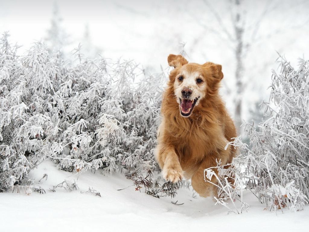 Perro saltando en la nieve - 1024x768
