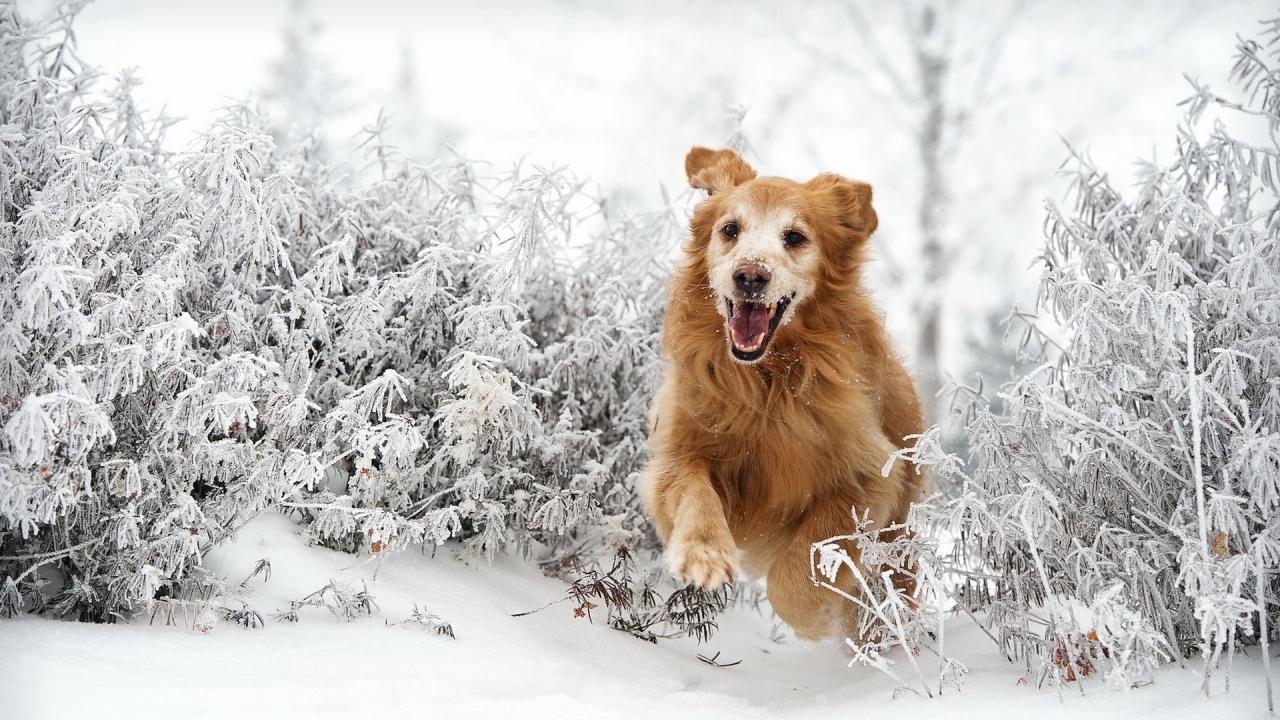 Perro saltando en la nieve - 1280x720