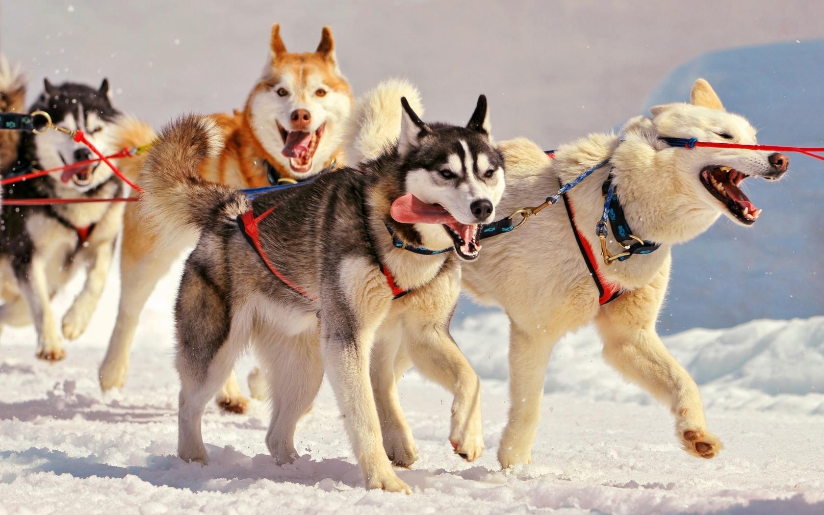 Perros en la nieve - 1680x1050