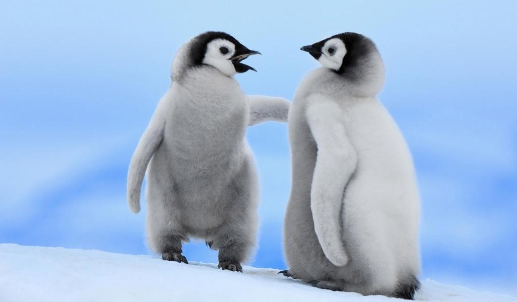 Pinguinos bebes - 1024x600