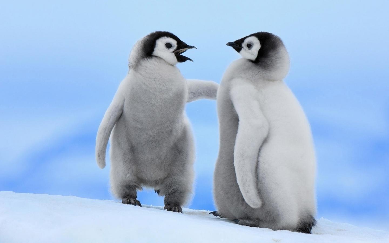 Pinguinos bebes - 1440x900