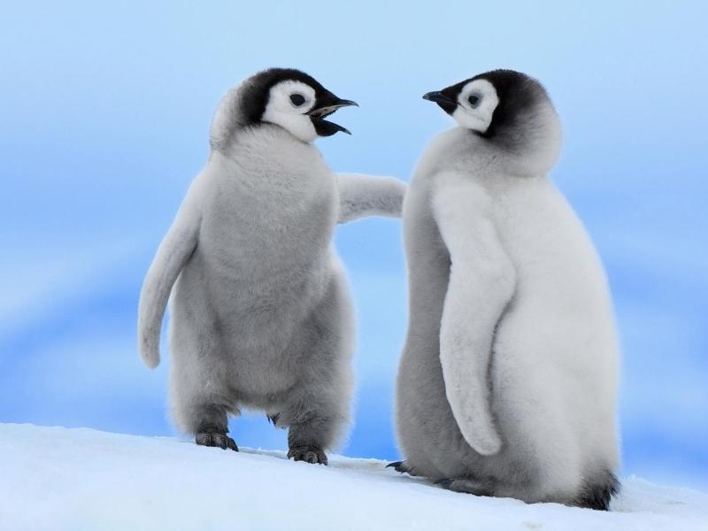Pinguinos bebes - 800x600