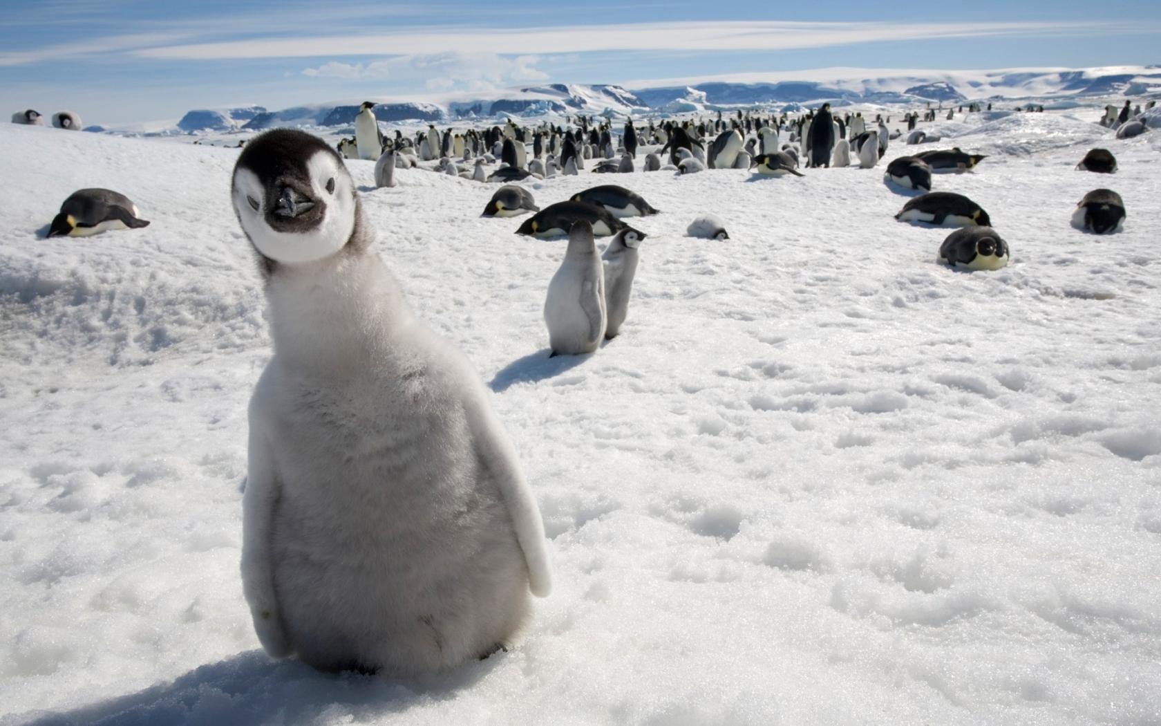 Pinguinos en la nieve - 1680x1050
