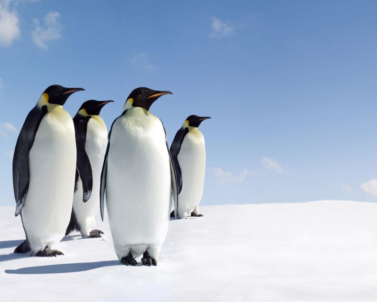 Pinguinos - 1280x1024