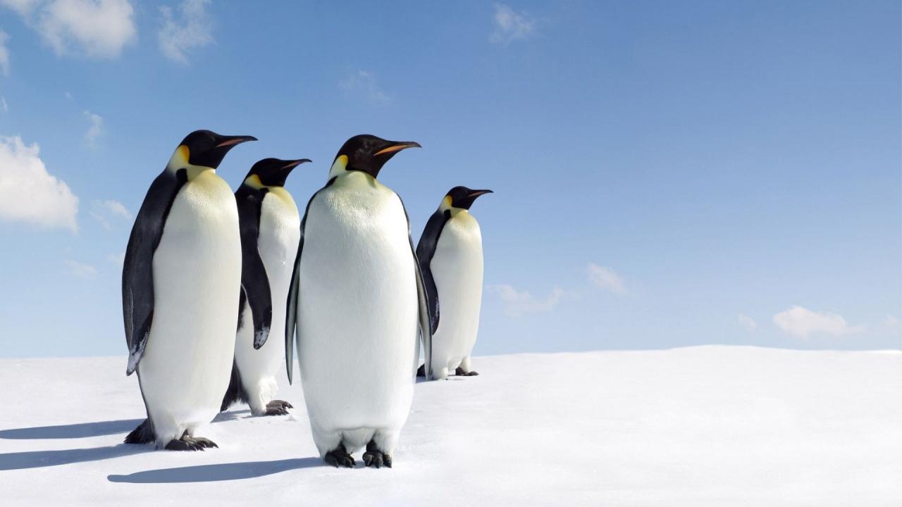 Pinguinos - 1280x720